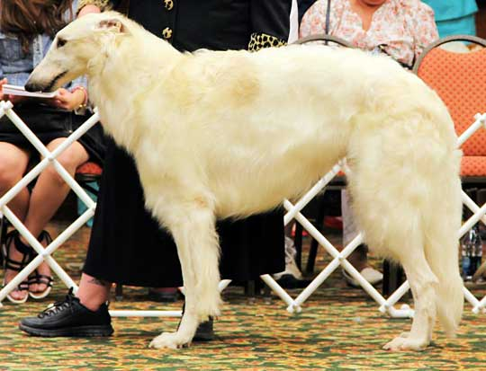 Borzoi Beast at the 2013 BCOA National Specialty Show