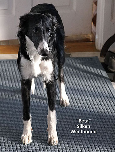 Beta - Silken Windhound