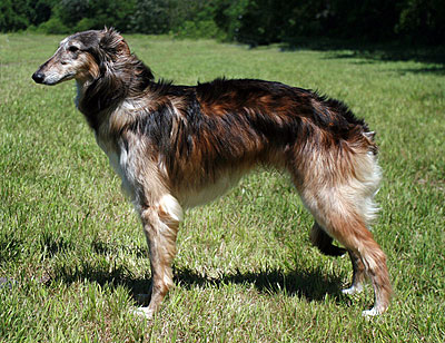 Darkun - male Silken Windhound