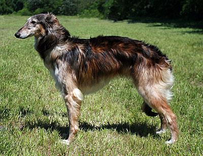 Darkun - male Silken Windhound