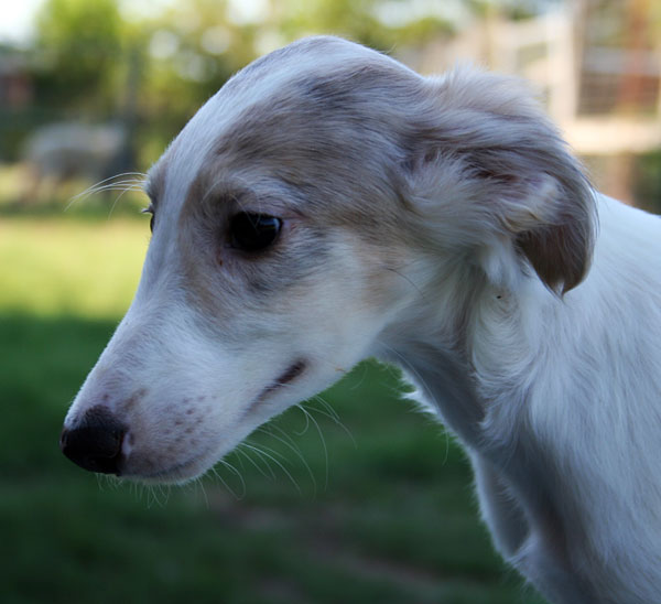 The Girl - Silken Windhound sweet puppy face