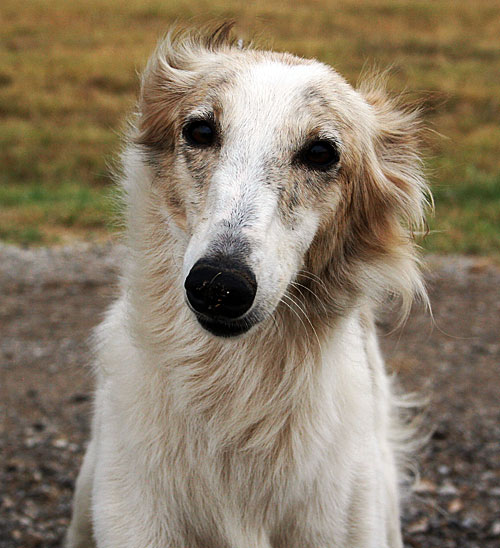 silken windhound Dulci's sweet face