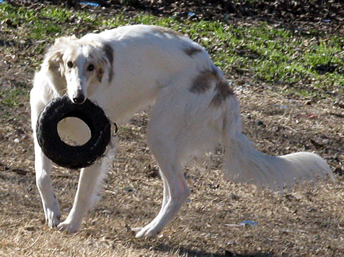 silly silken windhound with her tire toy