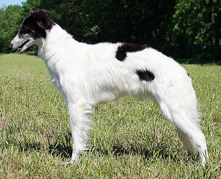 Fanci - Silken Windhound