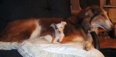 silken windhound Kitty and borzoi Drumm