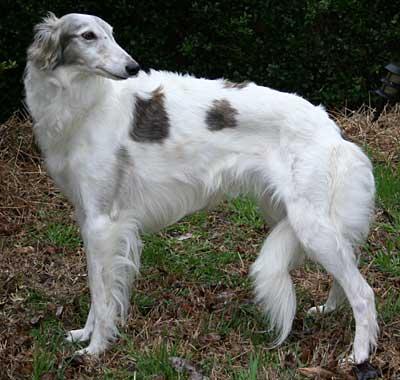 Layla - silken windhound