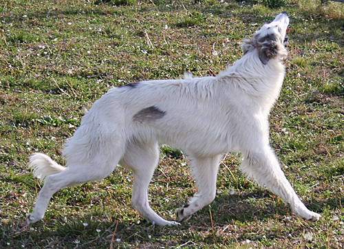 Pasha (silken windhound) showing off in the yard
