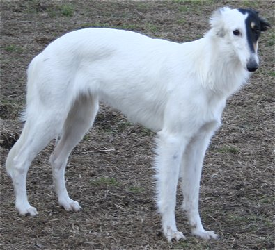 Radar - silken windhound bitch for sale