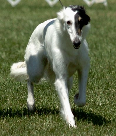available silken windhound - Radar