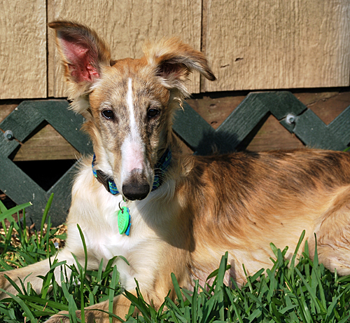 Sarah - female Silken Windhound