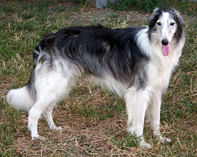 silken windhound Shadow