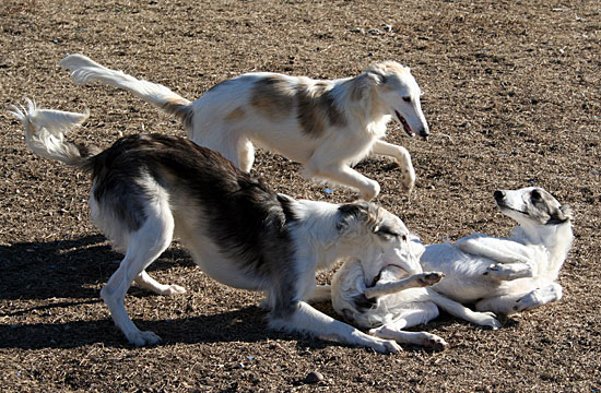 silken windhounds at play