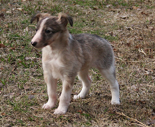 Silken Windhound puppy Squish