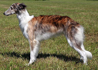 Sylvi - first UKC Grand Champion silken windhound