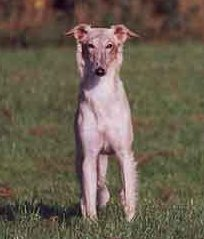 Tanner - Swedish silken windhound