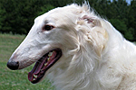 profile of borzoi J/T