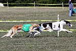 racing borzoi - Pumpkin and Solo