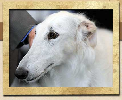 Barbee - TX Borzoi female