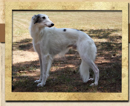 Pasha - Silken Windhound male