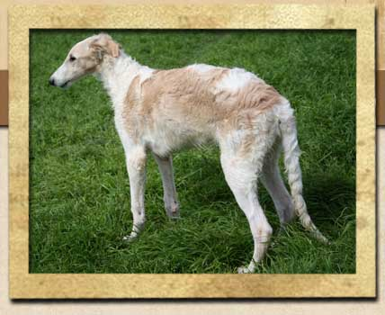 Zefir - Borzoi boy from Texas