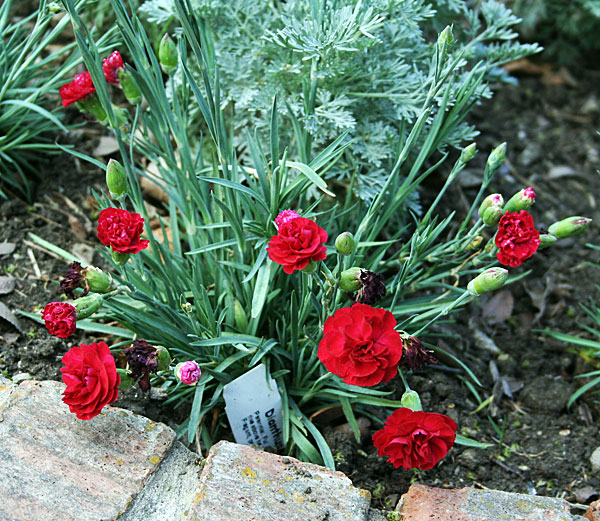 Dianthus and Artemesia
