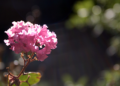 Crape Myrtle bloom