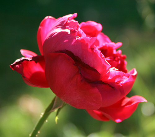 Rouge Royale hybrid tea rose