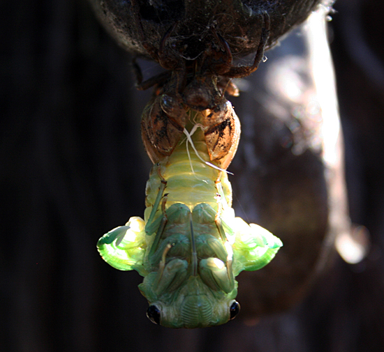 an emerging cicada