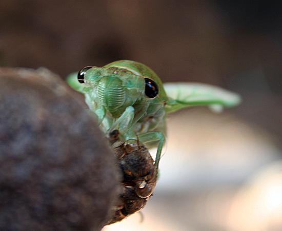 new cicada