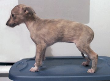 Pockets - silken windhound puppy
