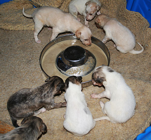 silken windhound pups first dindin