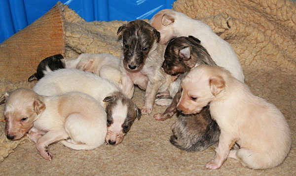 silken windhound puppies - 3 weeks old
