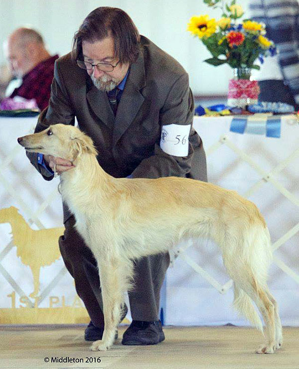 Gilda - female silken windhound for sale