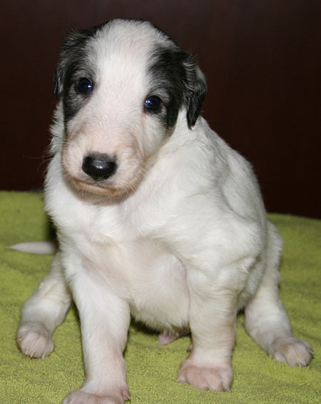 silken windhound puppy Hercules at 3 weeks
