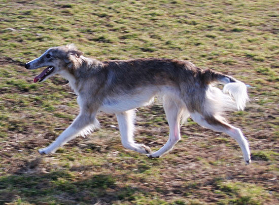 Silken Windhound Squish on the go