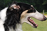 Grand Champion Borzoi Solo